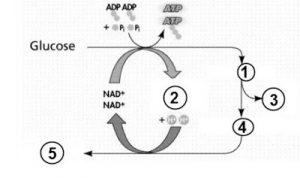 Soal Dan Pembahasan Bab Metabolisme Biologi Sma 3 Kumpulan Penunjang Dan Media Guru Serta Soal Pembahasan